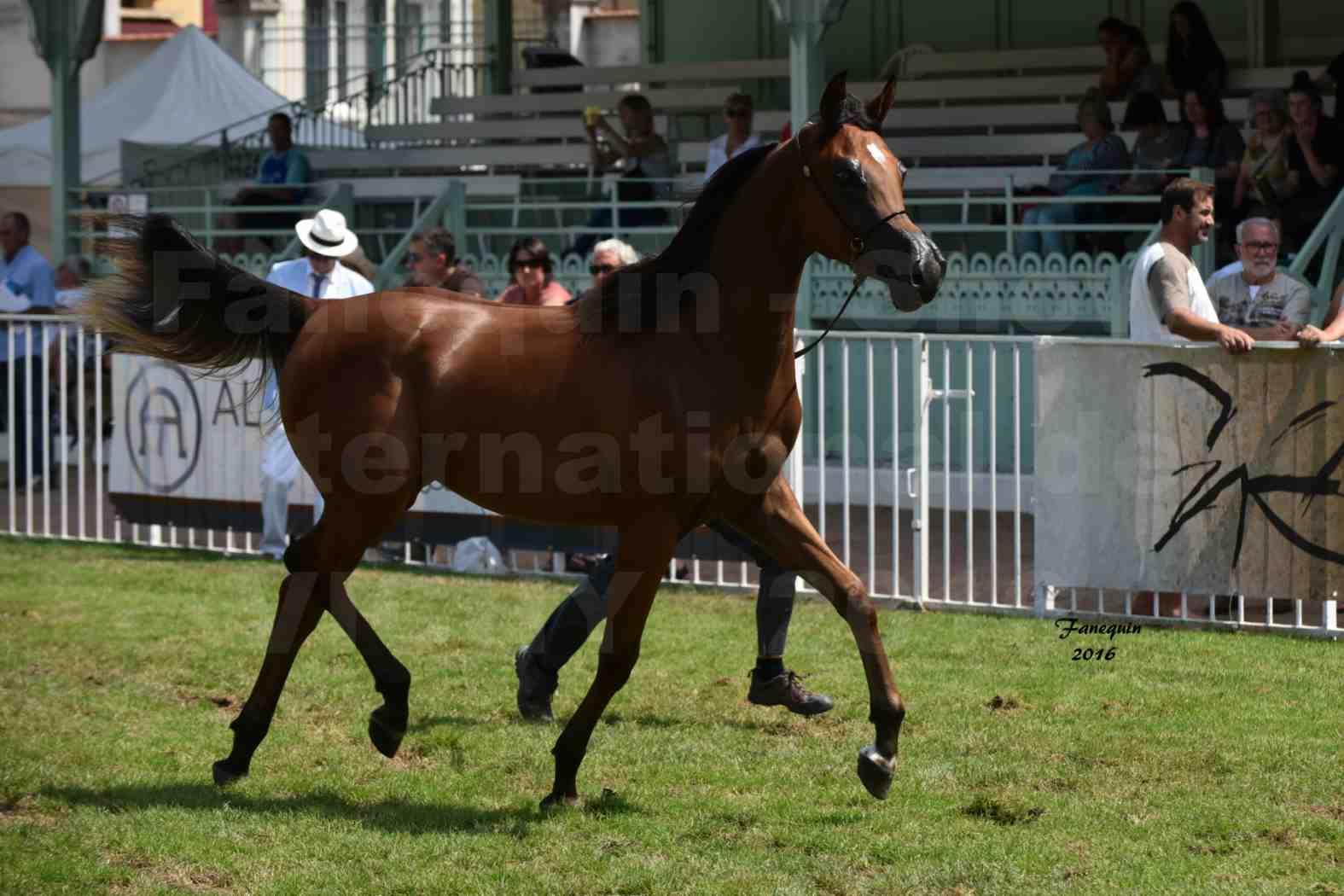 International Arabian Horse Show B de VICHY 2016 - ASRAR MS - Notre Sélection - 3