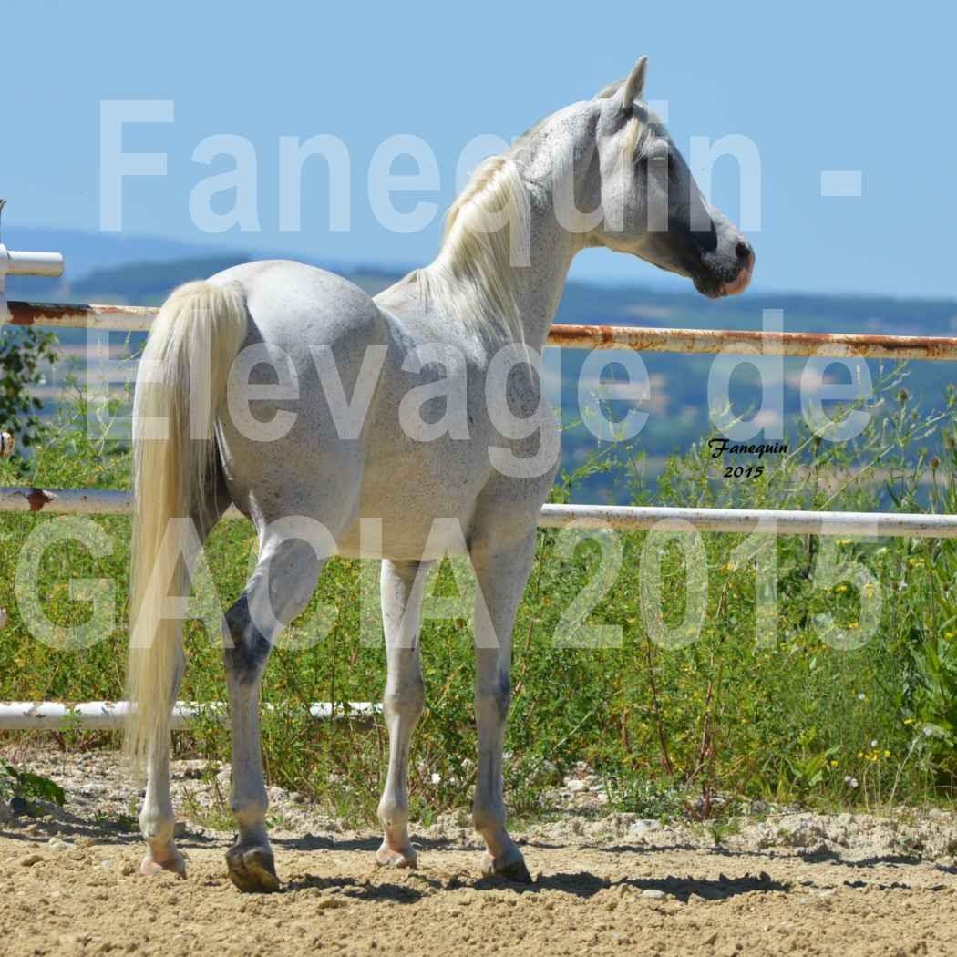 Chevaux de Mr SAVENIER juin 2015 domaine de GACIA - Étalon PIWOSZ - 24