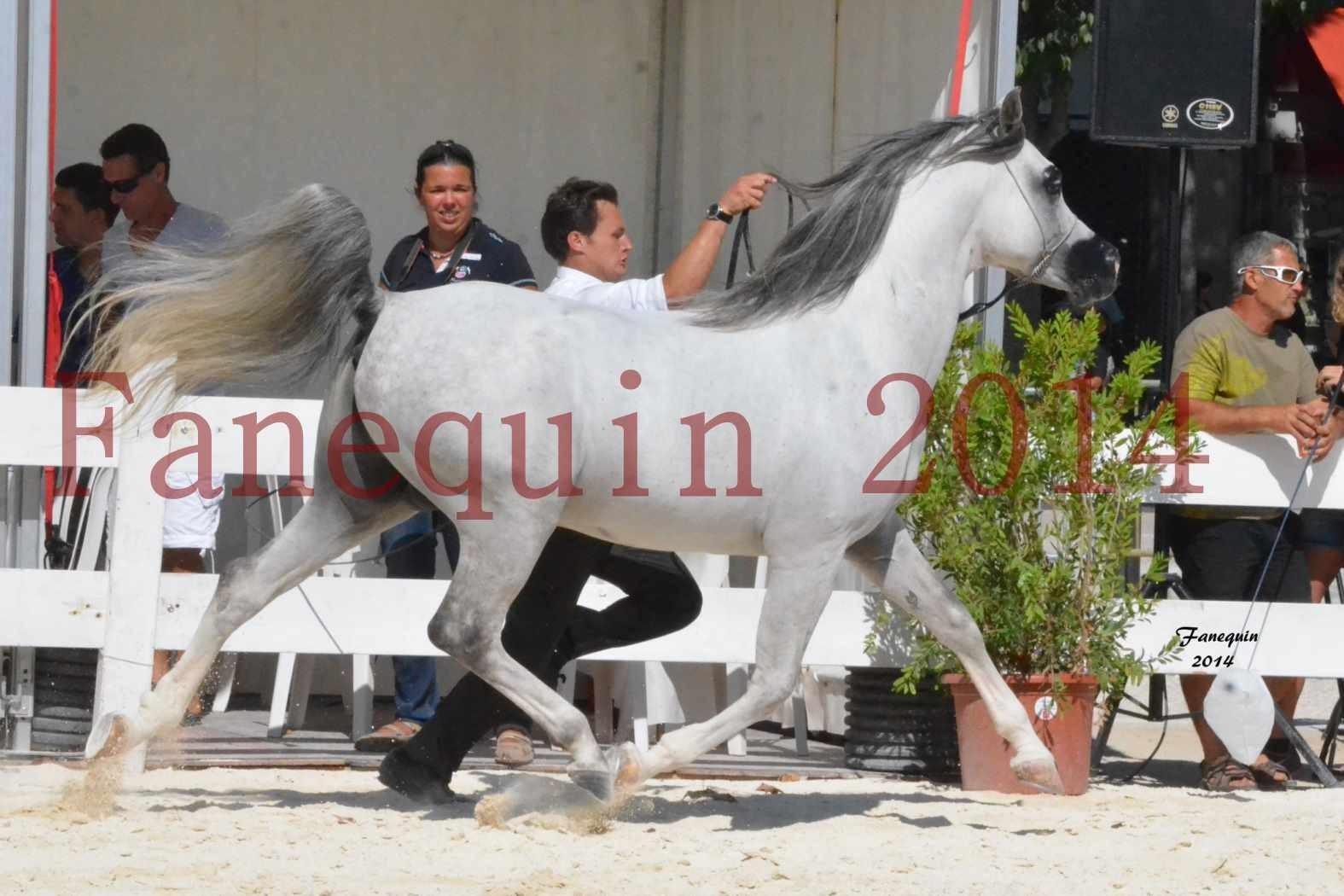 Concours National de Nîmes de chevaux ARABES 2014 - Notre Sélection - SHAOLIN DE NEDJAIA - 13