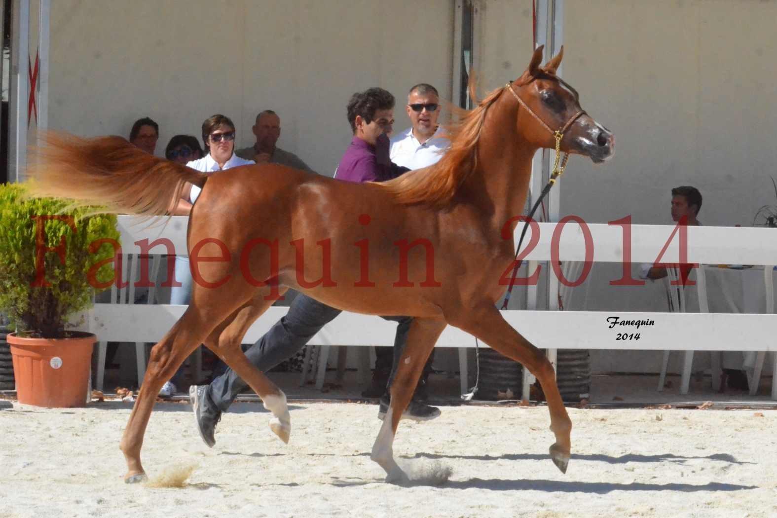 Concours National de Nîmes de chevaux ARABES 2014 - Notre Sélection - TSAR NERIO - 08