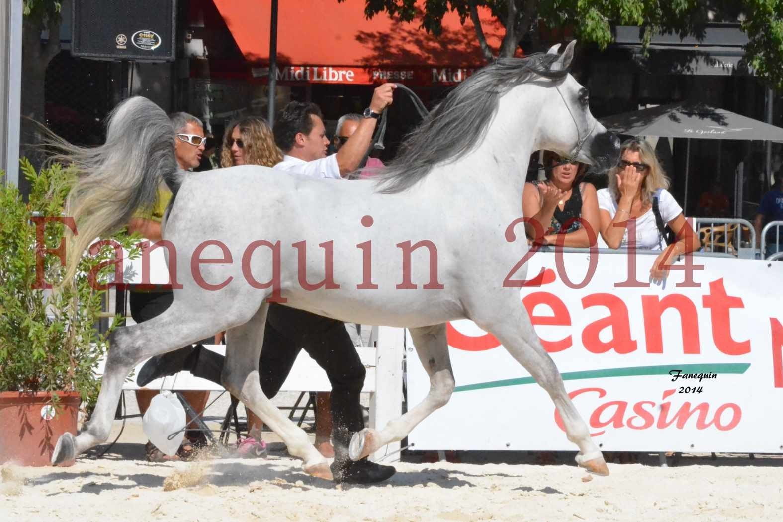 Concours National de Nîmes de chevaux ARABES 2014 - Notre Sélection - SHAOLIN DE NEDJAIA - 14