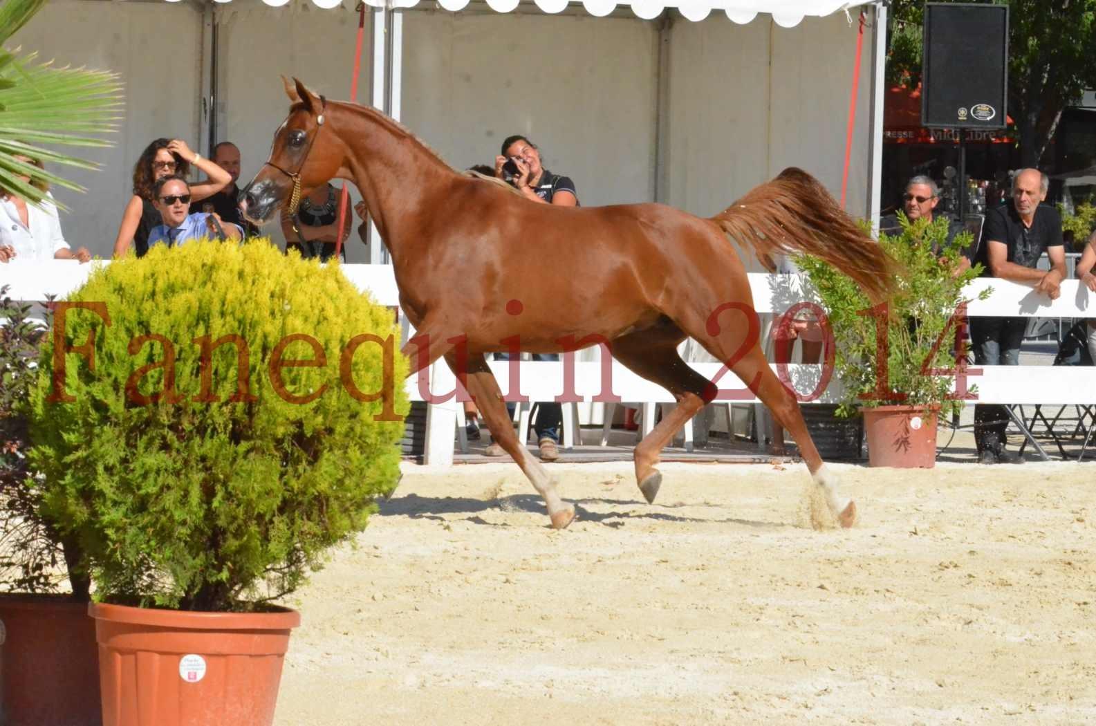 Concours National de Nîmes de chevaux ARABES 2014 - Championnat - MASSAI DE BARREL - 57