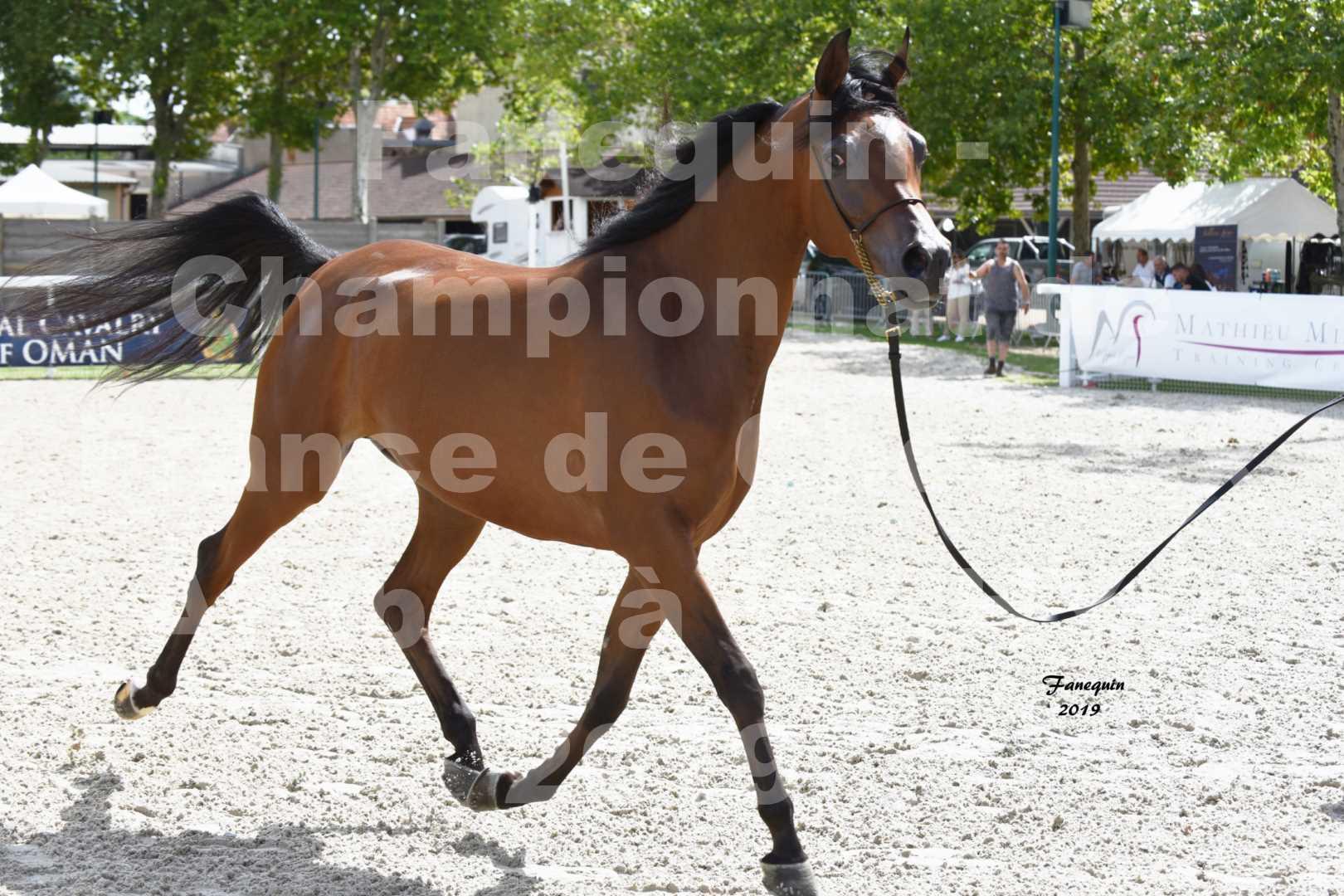 Championnat de France des chevaux Arabes en 2019 à VICHY - MADONNA J - 1