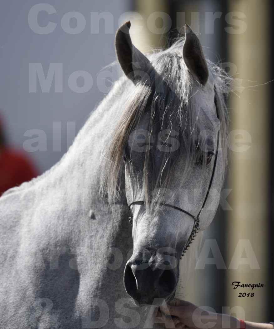 Concours d'élevage de Chevaux Arabes - Demi Sang Arabes - Anglo Arabes - ALBI les 6 & 7 Avril 2018 - SHAKEEL DE LAFON - Notre Sélection - Portraits - 2