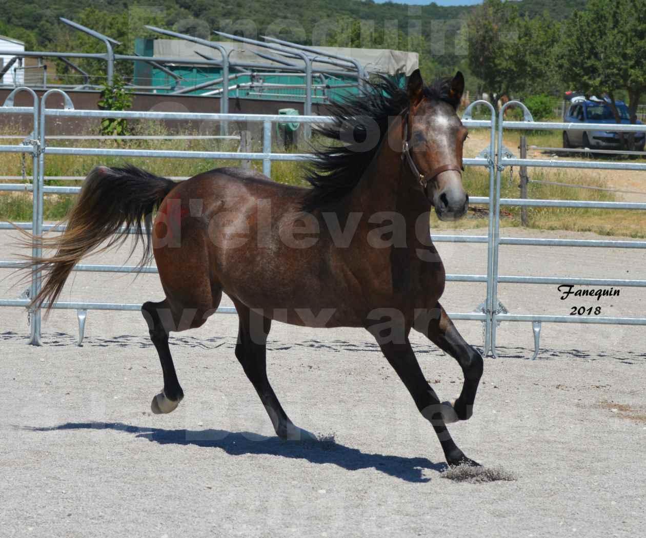 Concours d'Elevage de chevaux Arabes  le 27 juin 2018 à la BOISSIERE - DORKKAN DE FIGNOLS - 09