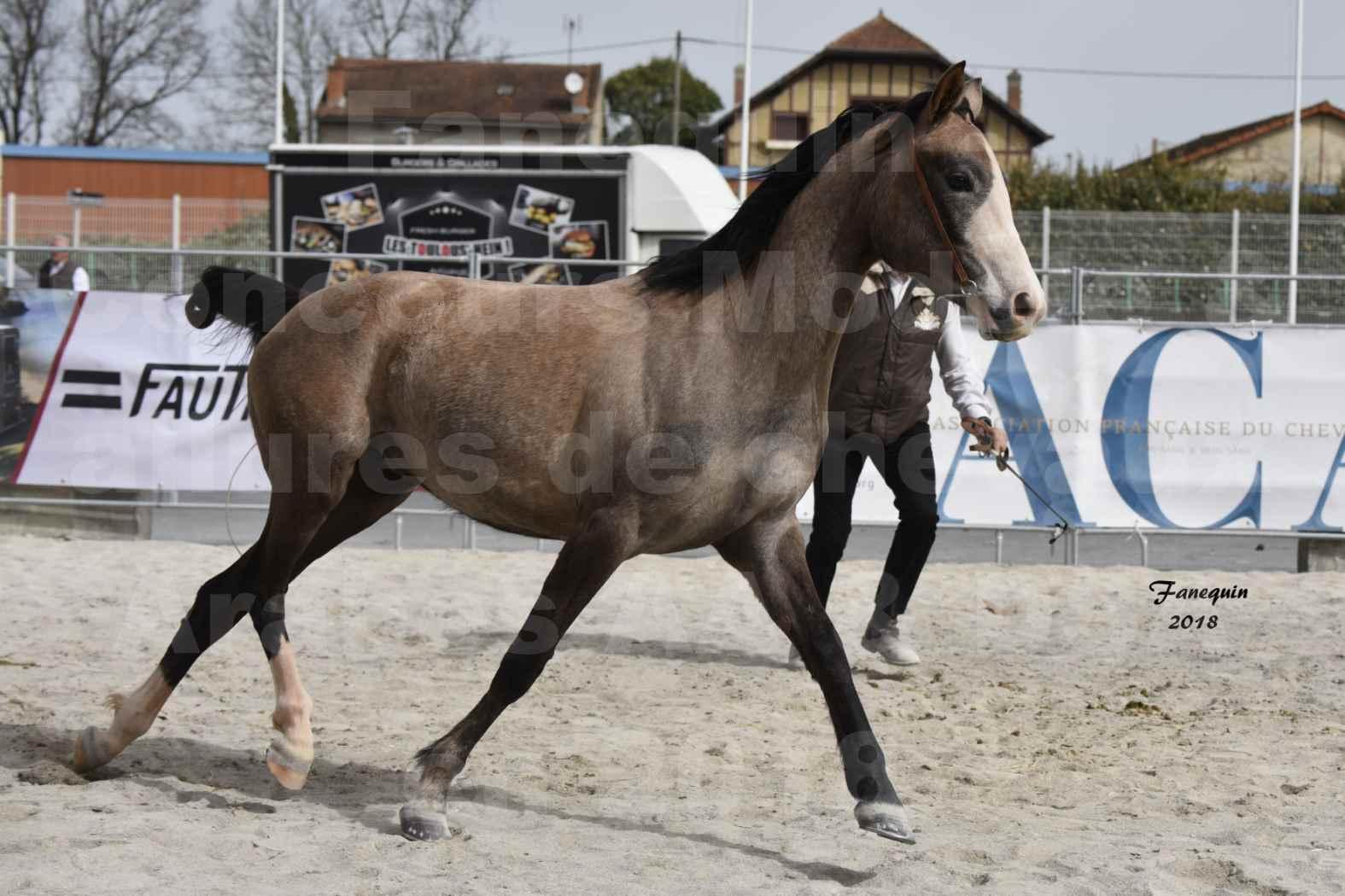 Concours d'élevage de Chevaux Arabes - D. S. A. - A. A. - ALBI les 6 & 7 Avril 2018 - FLORIA DU PUECH - Notre Sélection 10