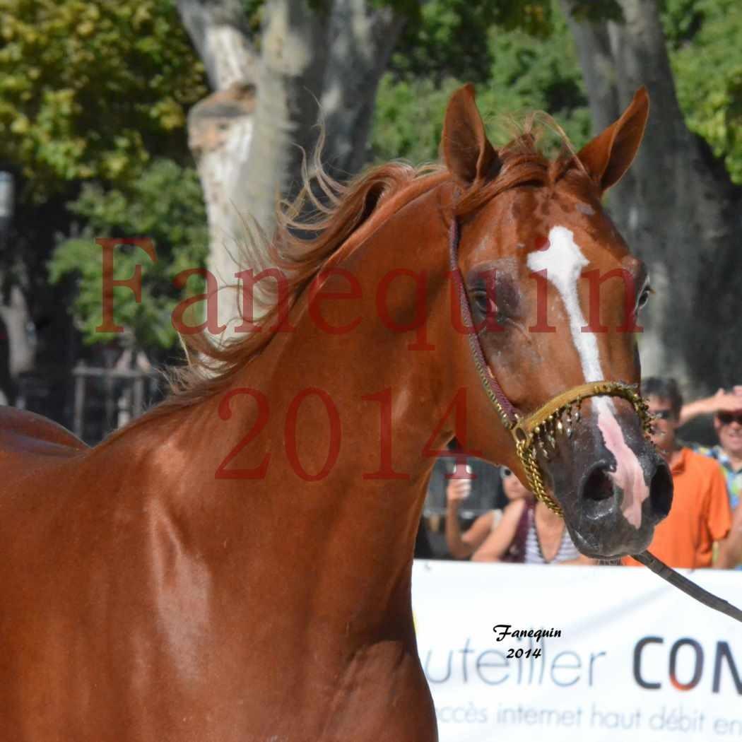 Concours National de Nîmes de chevaux ARABES 2014 - Notre Sélection - Portraits -  DZHARI NUNKI - 1