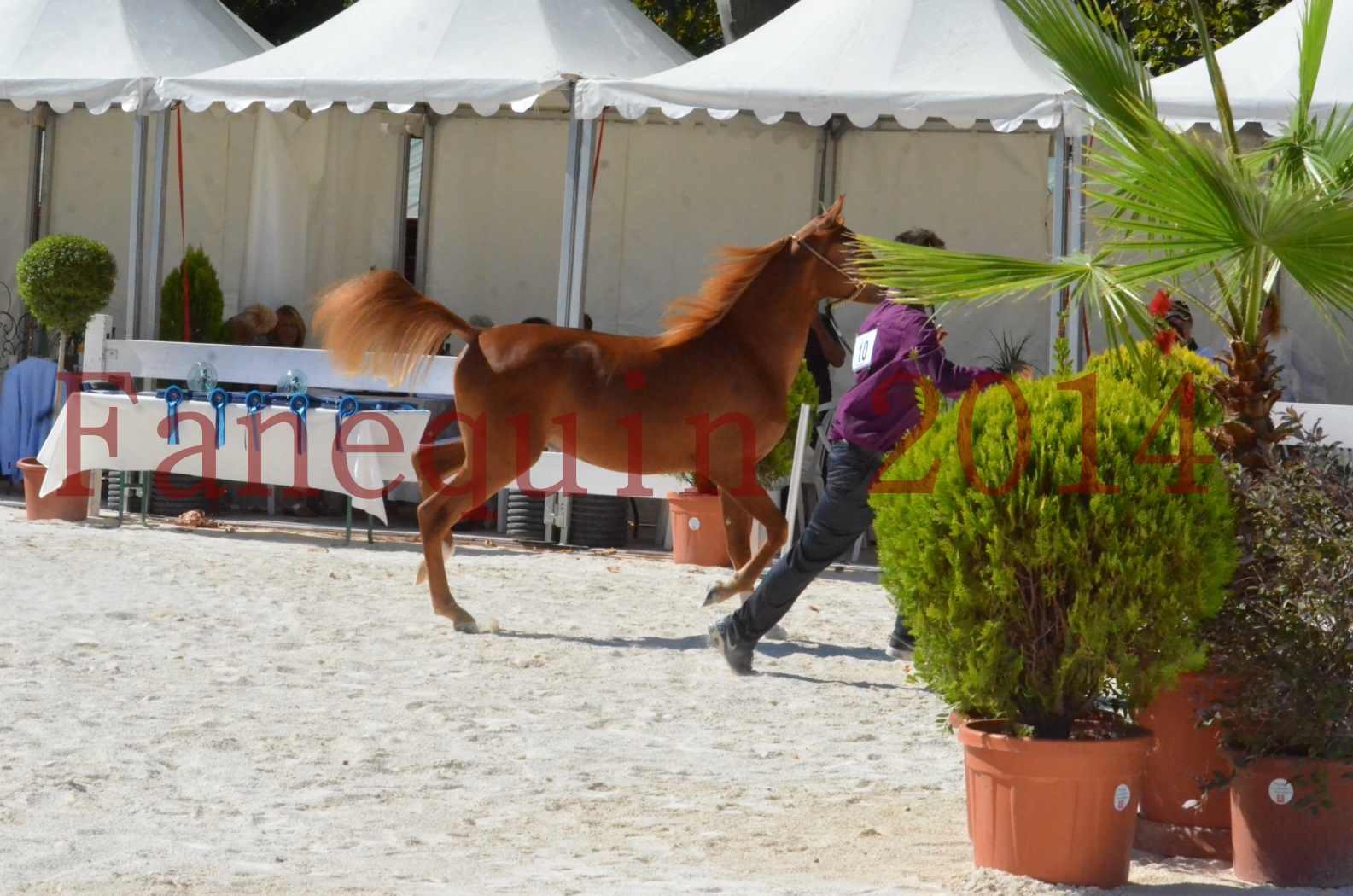 Concours National de Nîmes de chevaux ARABES 2014 - TSAR NERIO - 04