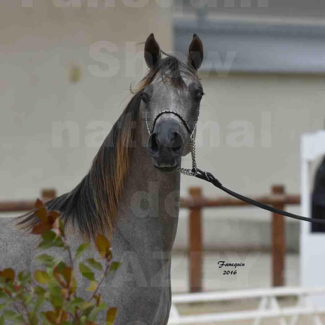 Show national de chevaux arabes de CHAZEY sur AIN 2016 - NM HACINA - Notre Sélection - Portraits - 2