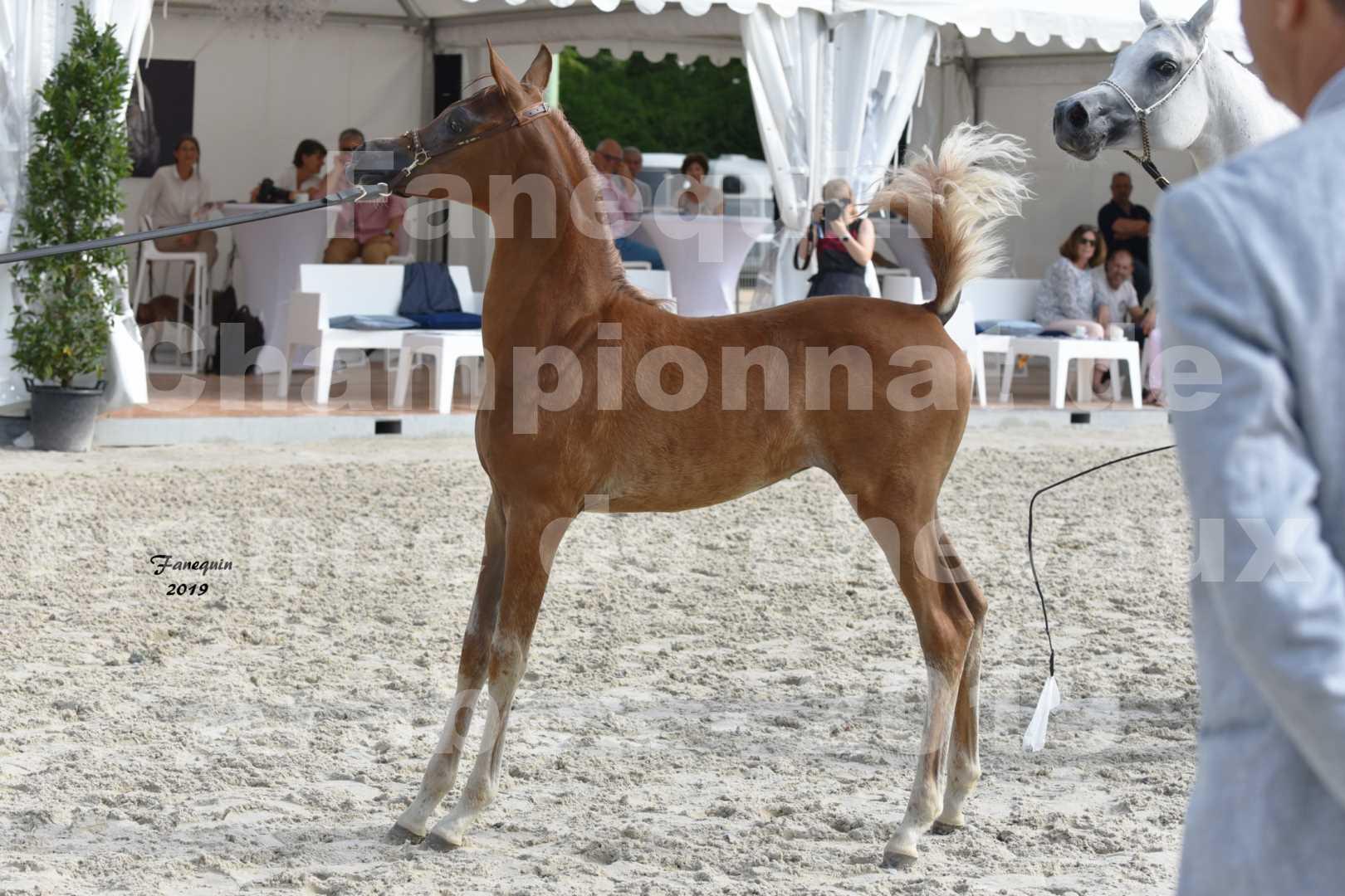 Championnat de France des chevaux Arabes en 2019 à VICHY - SH CYRENE - 5