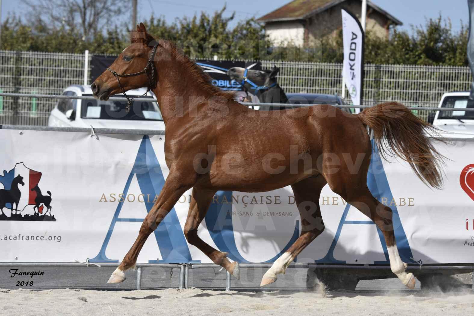 Concours d'élevage de Chevaux Arabes - D. S. A. - A. A. - ALBI les 6 & 7 Avril 2018 - GRIOU DU GRIOU - Notre Sélection - 8