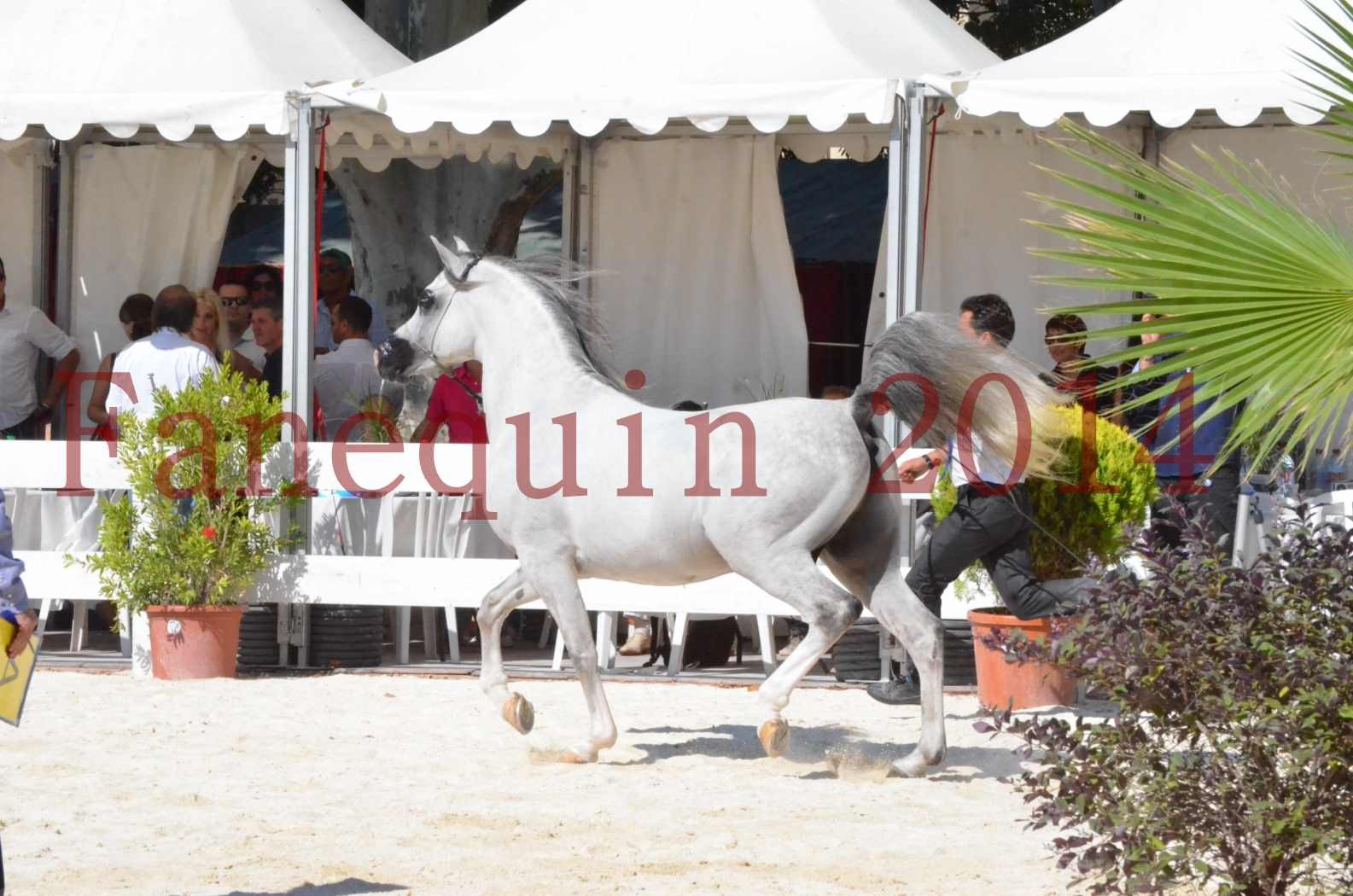 Concours National de Nîmes de chevaux ARABES 2014 - Sélection - SHAOLIN DE NEDJAIA - 09