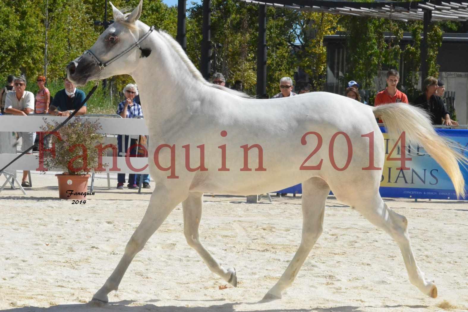 Concours National de Nîmes de chevaux ARABES 2014 - ENVY ETERNITY - 10