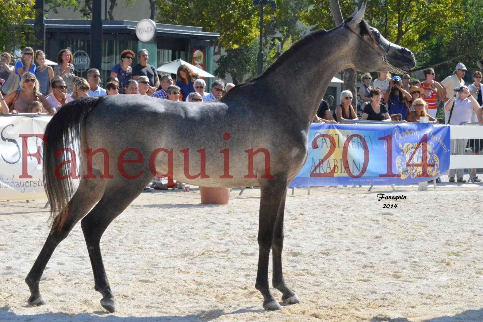 Concours National de Nîmes de chevaux ARABES 2014 - Notre Sélection - JOSEPH'S BOUZIOLS - 03