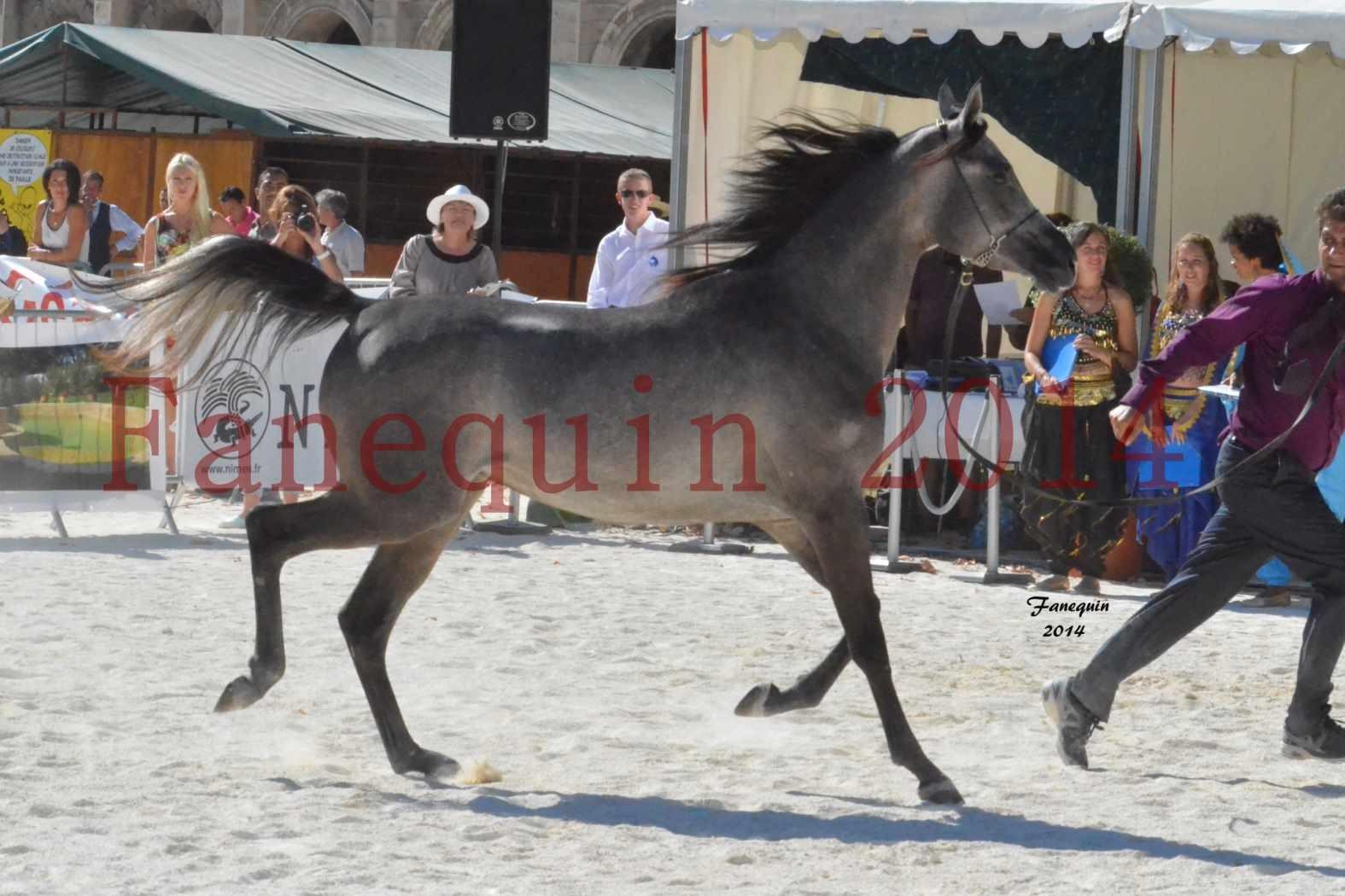 Concours National de Nîmes de chevaux ARABES 2014 - Notre Sélection - JOSEPH'S BOUZIOLS - 15