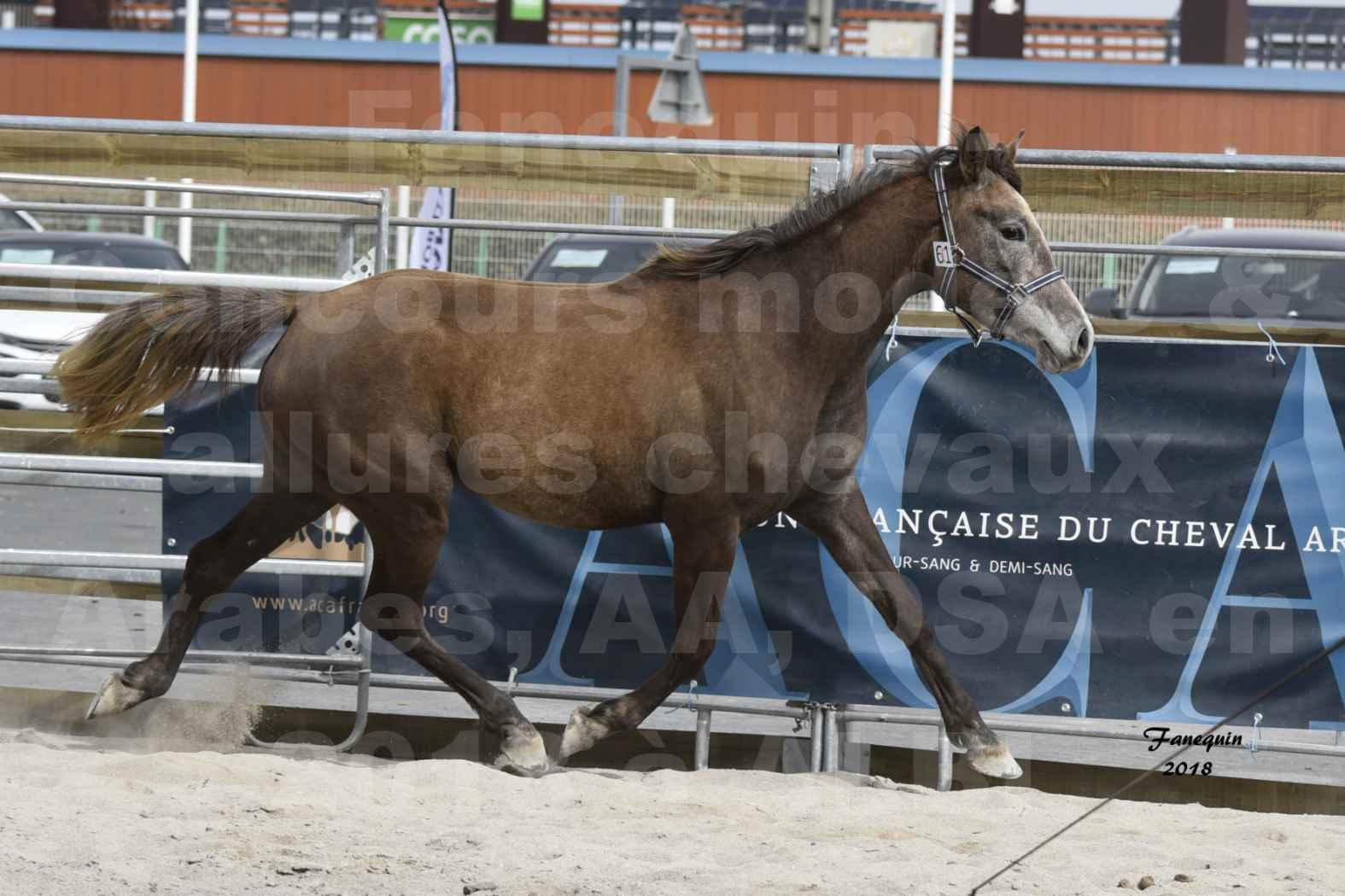 Concours d'élevage de Chevaux Arabes - Demi Sang Arabes - Anglo Arabes - ALBI les 6 & 7 Avril 2018 - FARAH DU CARRELIE - Notre Sélection - 14