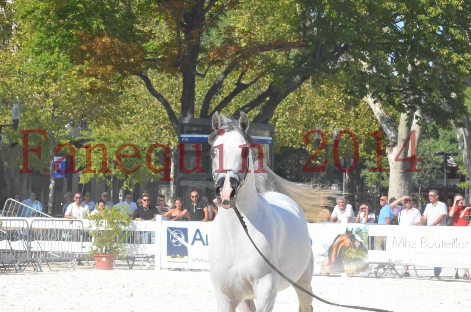 Concours National de Nîmes de chevaux ARABES 2014 - Championnat - SHAOLIN DE NEDJAIA - 20