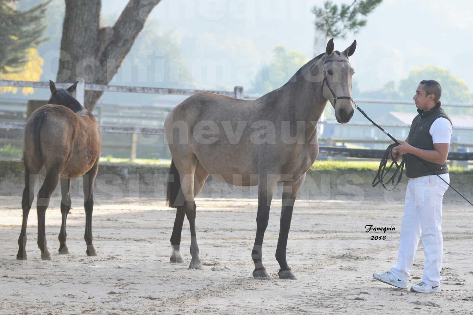 Confirmation de chevaux LUSITANIENS aux Haras d'UZES Novembre 2018 - DISTINTE - 1