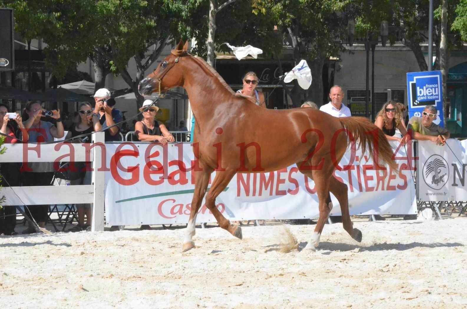 Concours National de Nîmes de chevaux ARABES 2014 - Championnat - MASSAI DE BARREL - 21
