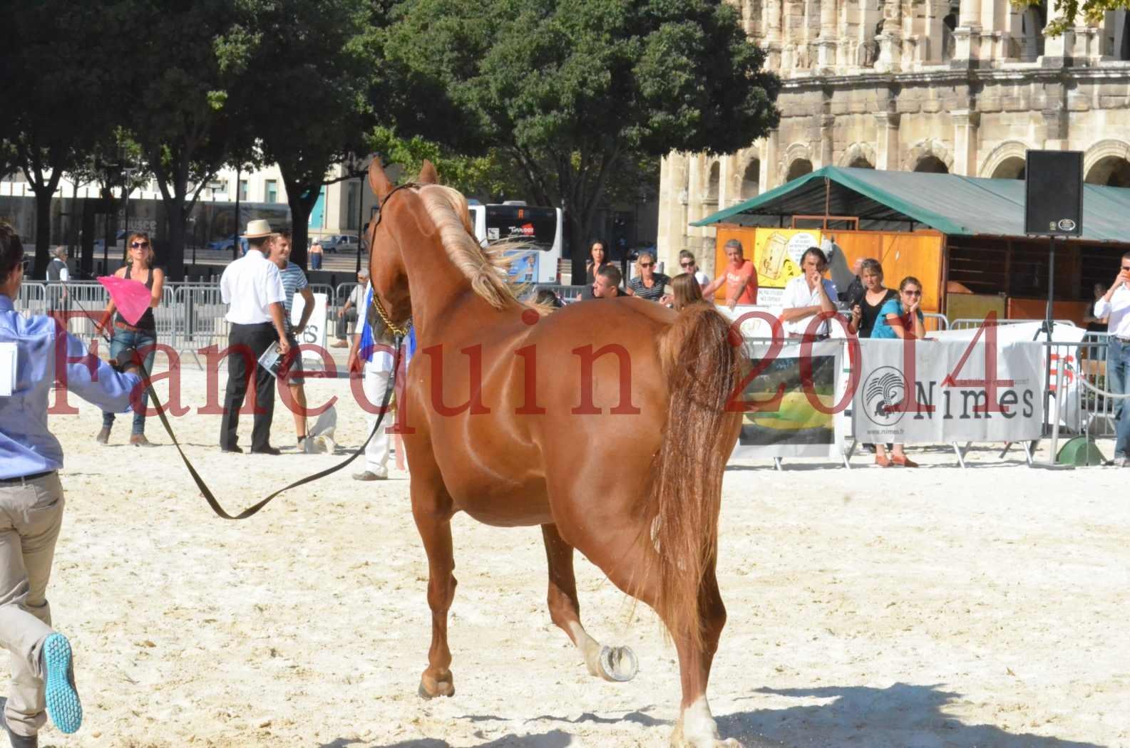 Concours National de Nîmes de chevaux ARABES 2014 - Championnat - MASSAI DE BARREL - 74