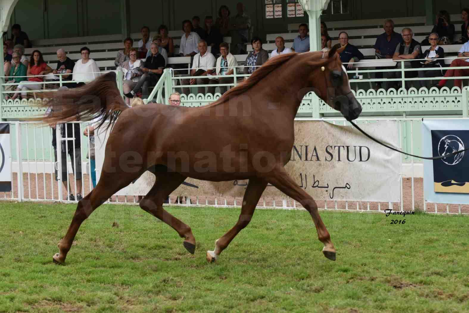 International Arabian Horse Show B de VICHY 2016 - PEARL DE DJOON - Notre Sélection - 03