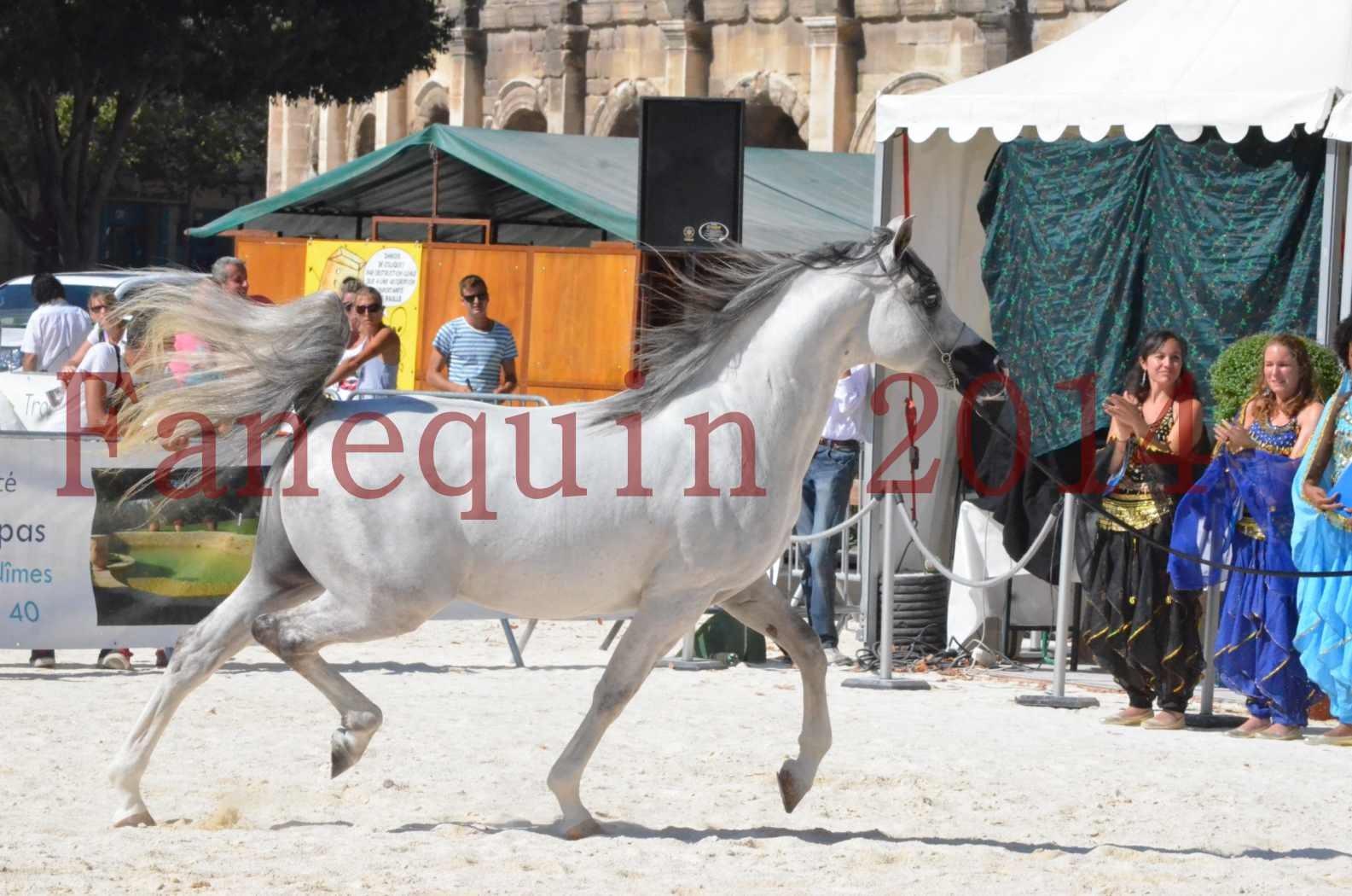 Concours National de Nîmes de chevaux ARABES 2014 - Sélection - SHAOLIN DE NEDJAIA - 22