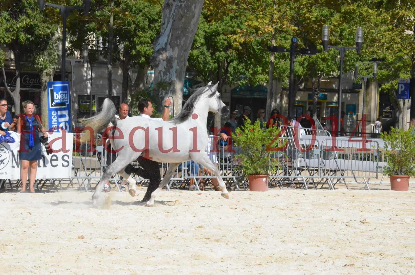 Concours National de Nîmes de chevaux ARABES 2014 - Sélection - SHAOLIN DE NEDJAIA - 39