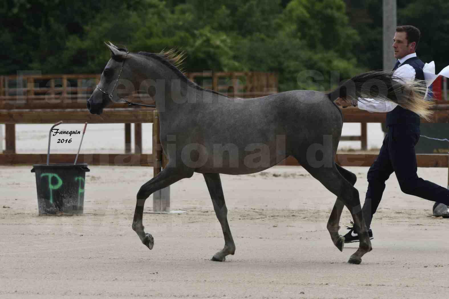 Show national de chevaux arabe de CHAZEY sur AIN - FALOUKA - 1