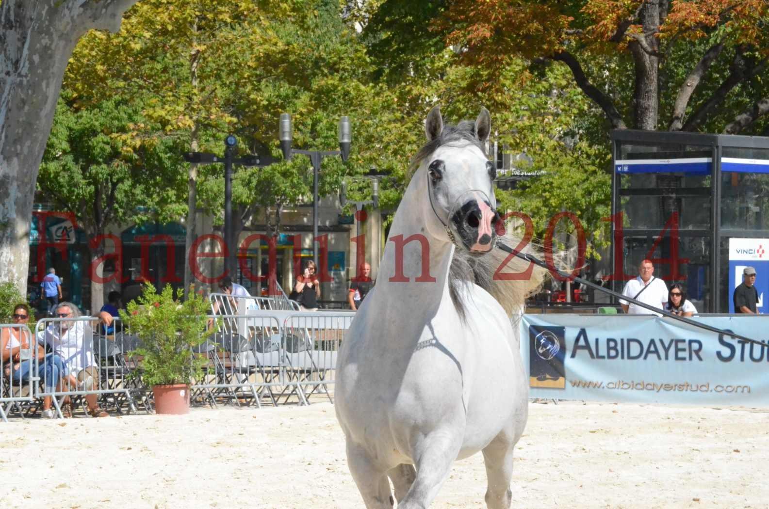 Concours National de Nîmes de chevaux ARABES 2014 - Sélection - SHAOLIN DE NEDJAIA - 50