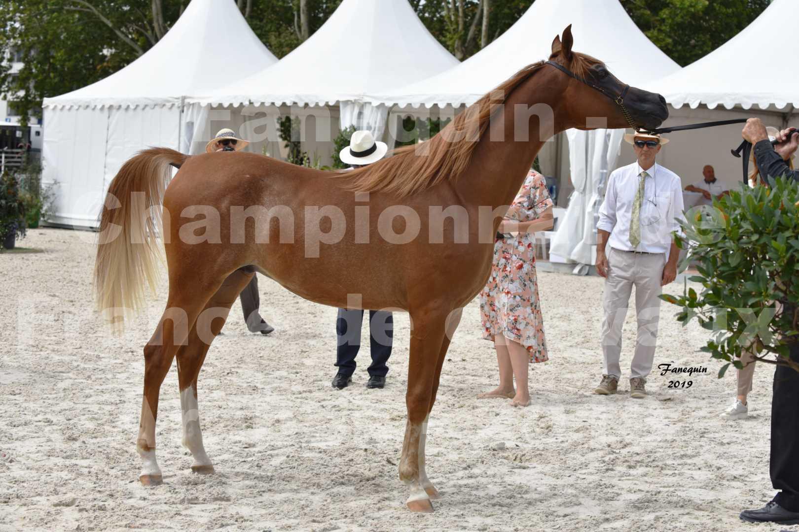 Championnat de France des chevaux Arabes en 2019 à VICHY - NILMANI SH - 6