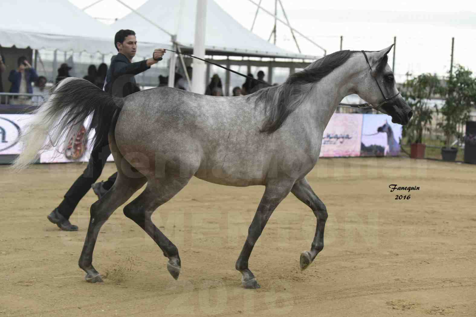 Championnat du pur-sang arabe de la Méditerranée et des pays arabes - MENTON 2016 - BOHOUR  AL SHAQAB - Notre Sélection - 4