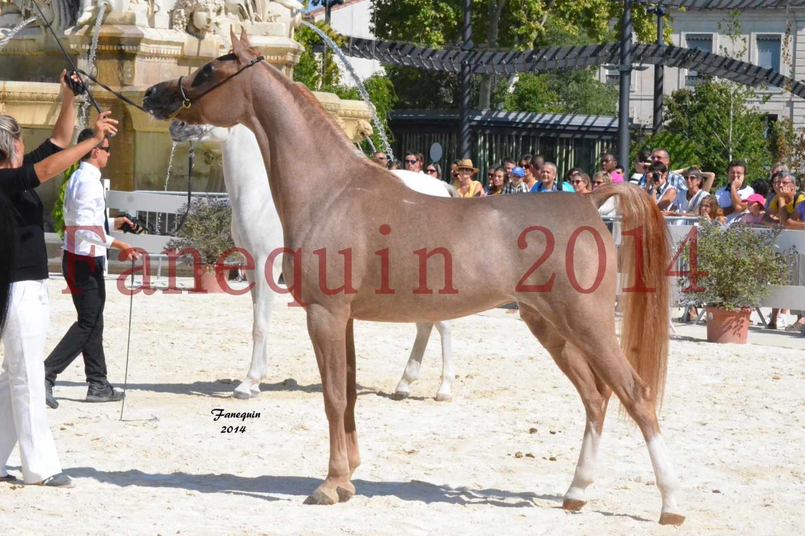 Concours National de Nîmes de chevaux ARABES 2014 - Notre Sélection - ABYSS DE RODET - 10