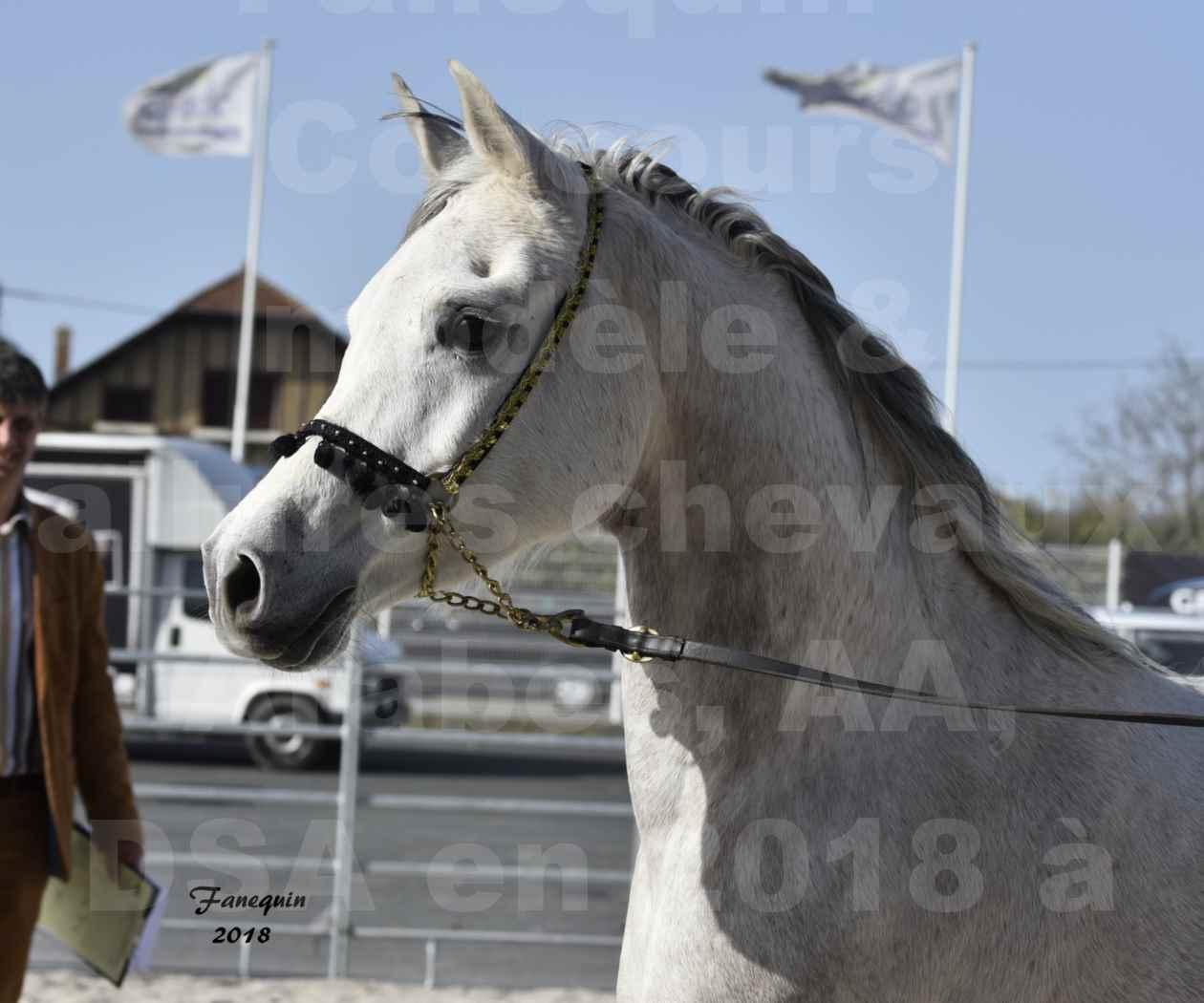 Concours d'élevage de Chevaux Arabes - Demi Sang Arabes - Anglo Arabes - ALBI les 6 & 7 Avril 2018 - NAÏM DE L'OLIVIER - Notre Sélection - Portraits - 1