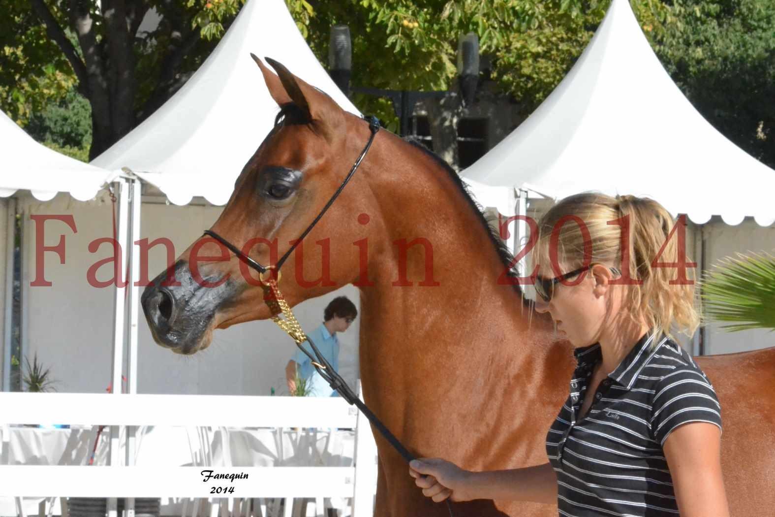 Concours National de Nîmes de chevaux ARABES 2014 - Notre Sélection - Portraits - ABHA TALAWA - 2