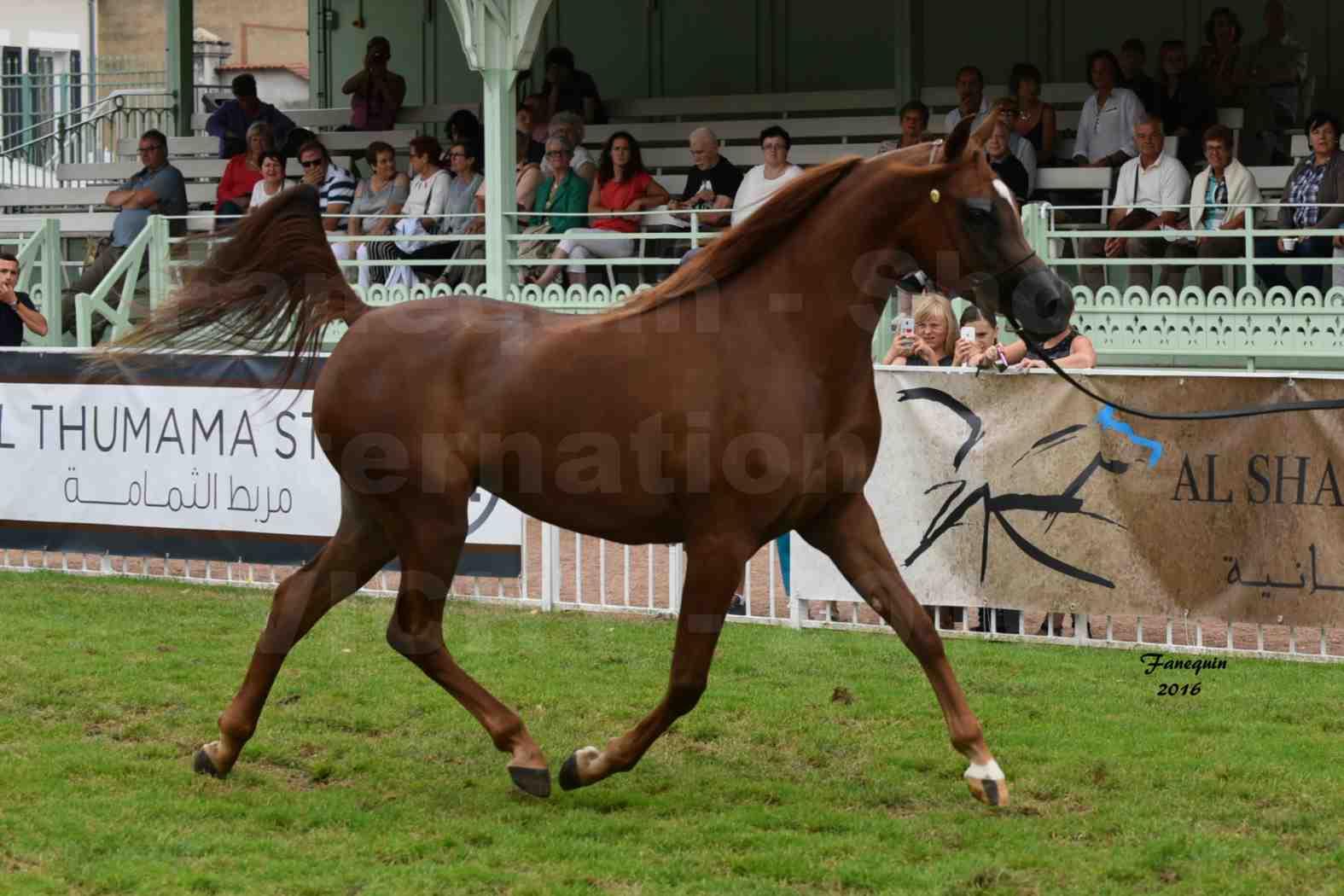 International Arabian Horse Show B de VICHY 2016 - PEARL DE DJOON - Notre Sélection - 01