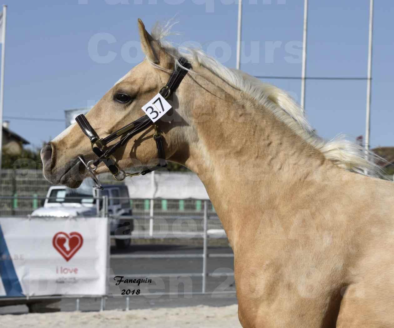 Concours d'élevage de Chevaux Arabes - Demi Sang Arabes - Anglo Arabes - ALBI les 6 & 7 Avril 2018 - GOLD DE DARRE - Notre Sélection - Portraits - 4