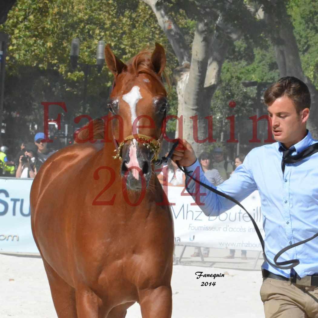 Concours National de Nîmes de chevaux ARABES 2014 - Notre Sélection - Portraits -  DZHARI NUNKI - 3