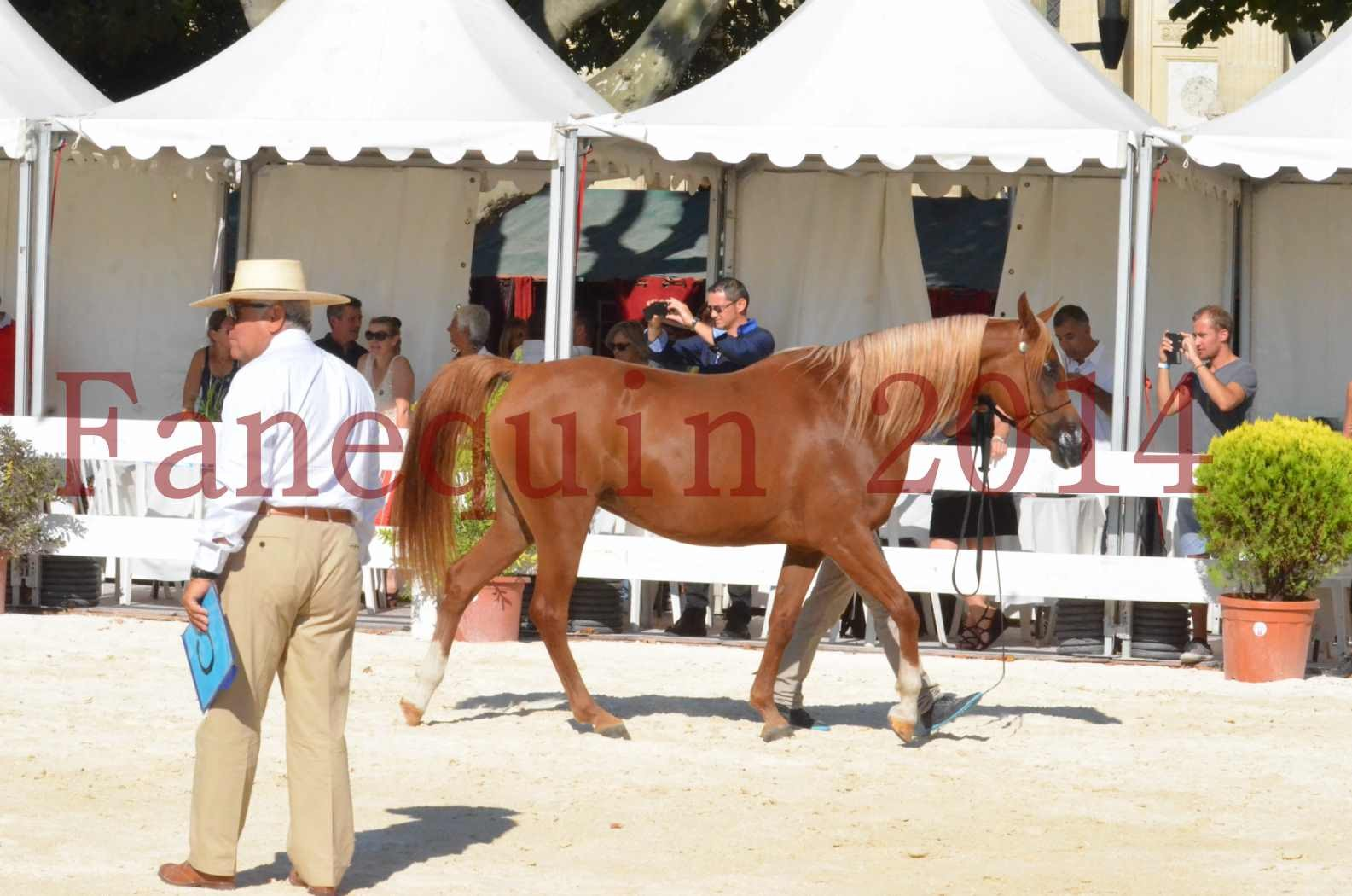 Concours National de Nîmes de chevaux ARABES 2014 - Championnat - MASSAI DE BARREL - 49