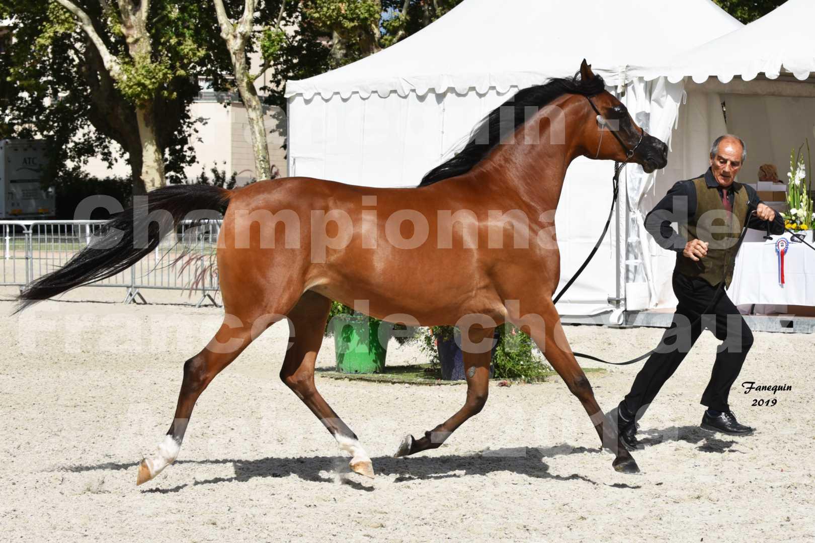 Championnat de France des chevaux Arabes en 2019 à VICHY - SH CHARISMA - 2