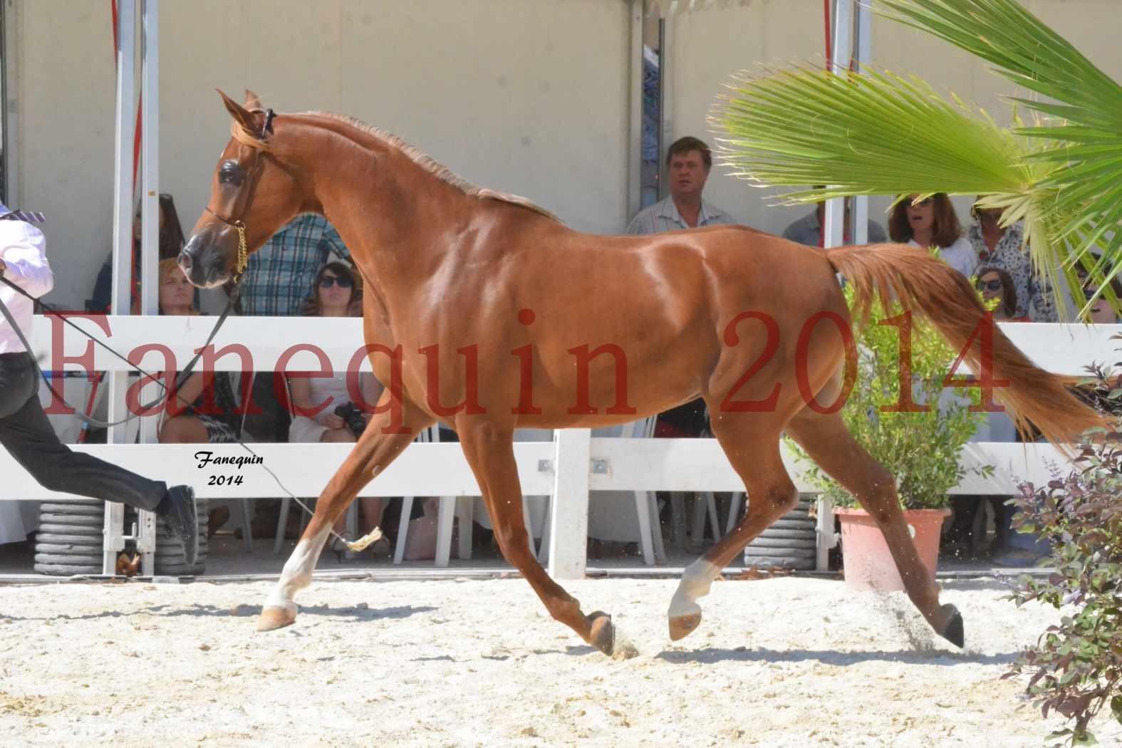 Concours National de Nîmes de chevaux ARABES 2014 - Notre Sélection - MASSAI DE BARREL - 03