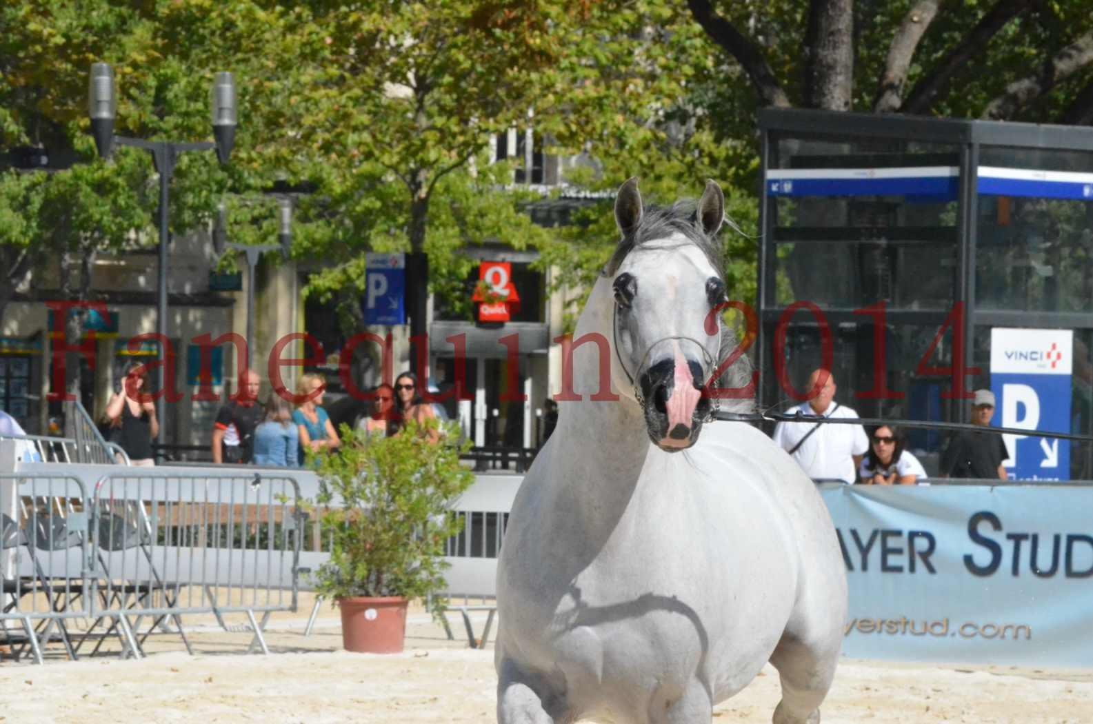 Concours National de Nîmes de chevaux ARABES 2014 - Sélection - SHAOLIN DE NEDJAIA - 49