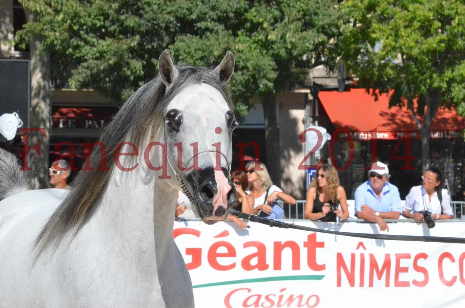 Concours National de Nîmes de chevaux ARABES 2014 - Sélection - SHAOLIN DE NEDJAIA - 12