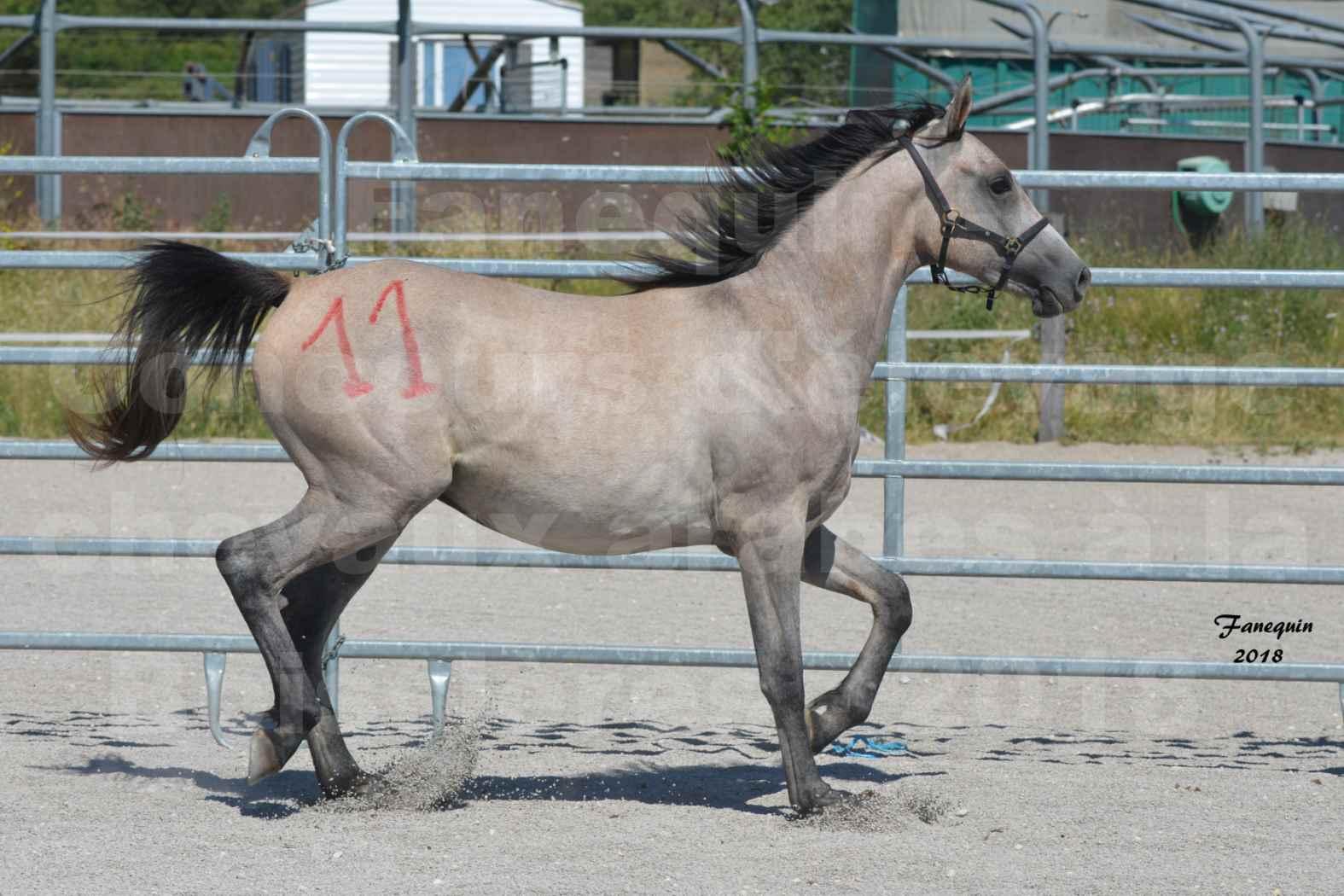 Concours d'Elevage de chevaux Arabes  le 27 juin 2018 à la BOISSIERE - GAZRAK D'AURIERES - 03