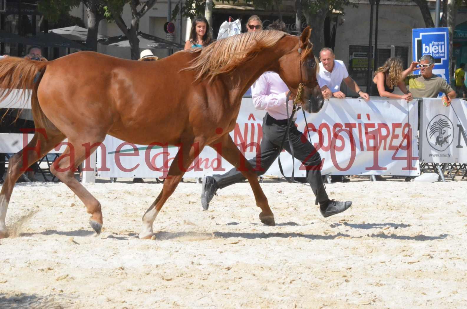 Concours National de Nîmes de chevaux ARABES 2014 - Championnat - MASSAI DE BARREL - 28