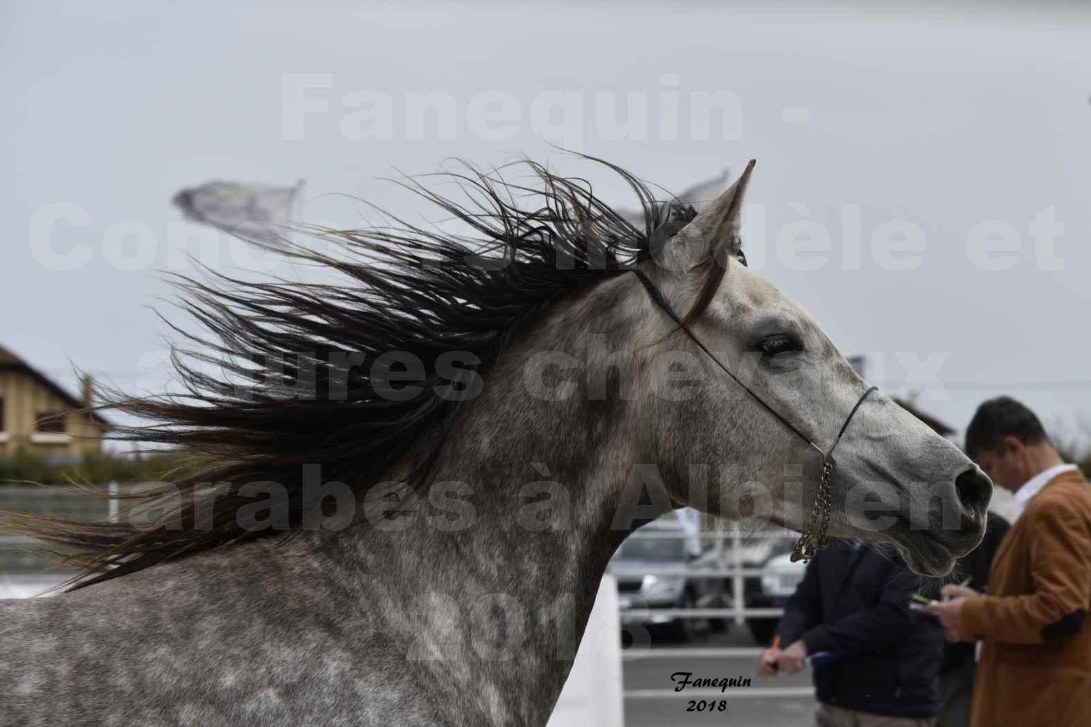 Concours d'élevage de Chevaux Arabes - Demi Sang Arabes - Anglo Arabes - ALBI les 6 & 7 Avril 2018 - PERCEVAL DE LAFON - Notre Sélection - Portraits - 10