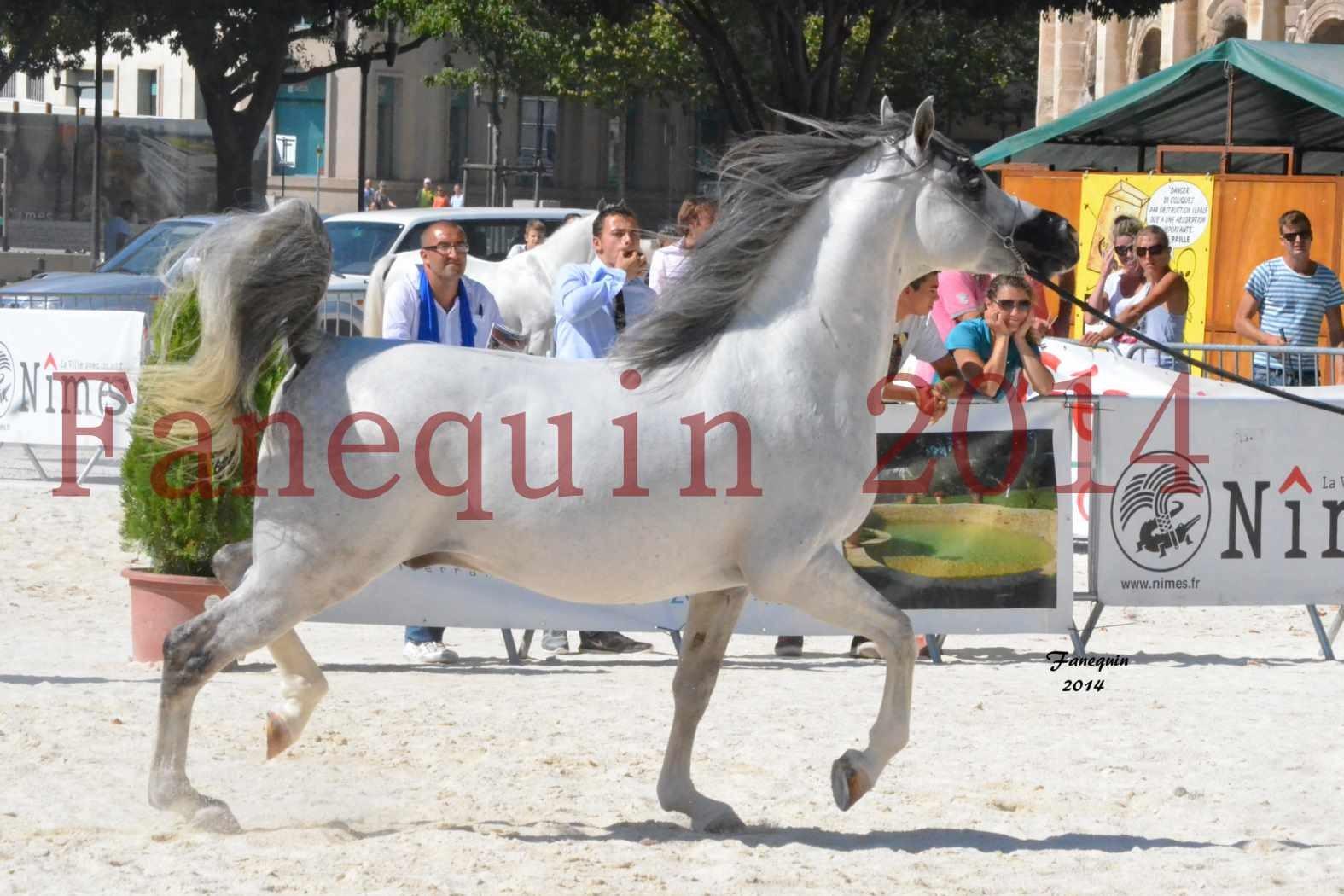 Concours National de Nîmes de chevaux ARABES 2014 - Notre Sélection - SHAOLIN DE NEDJAIA - 07