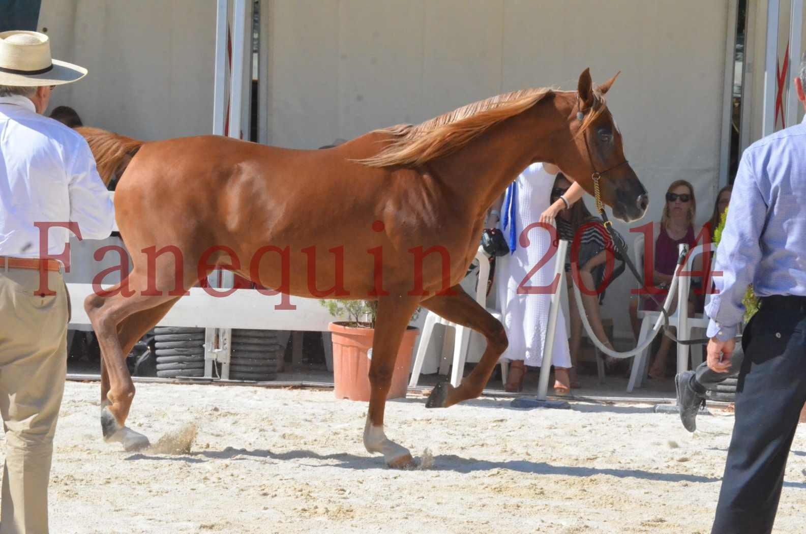 Concours National de Nîmes de chevaux ARABES 2014 - Championnat - MASSAI DE BARREL - 25