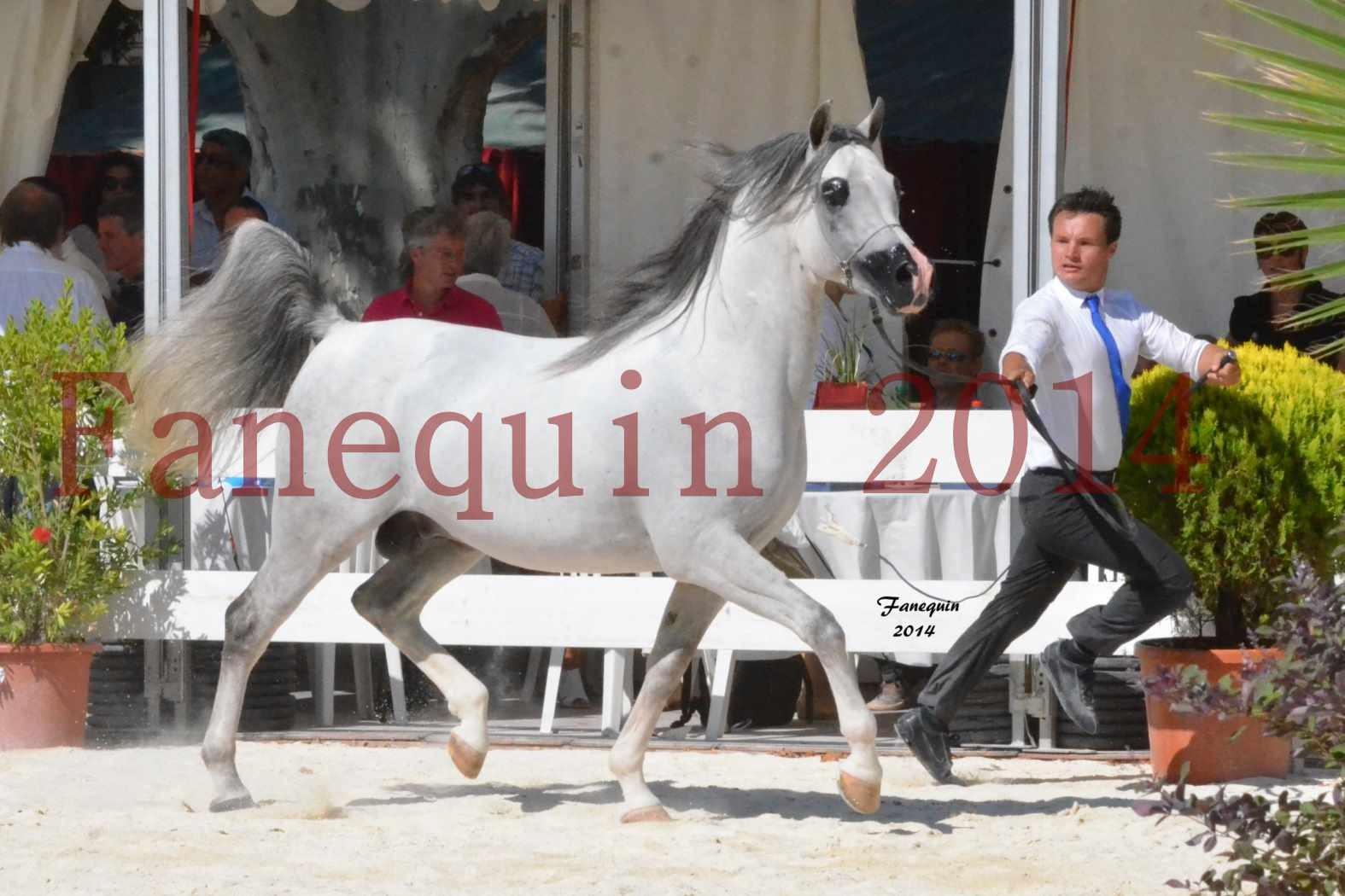 Concours National de Nîmes de chevaux ARABES 2014 - Notre Sélection - SHAOLIN DE NEDJAIA - 02
