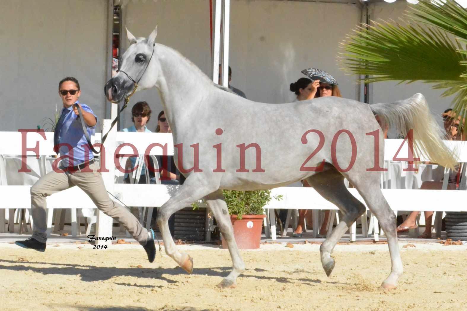 Concours National de Nîmes de chevaux ARABES 2014 - Notre Sélection - ELLESTERA - 14