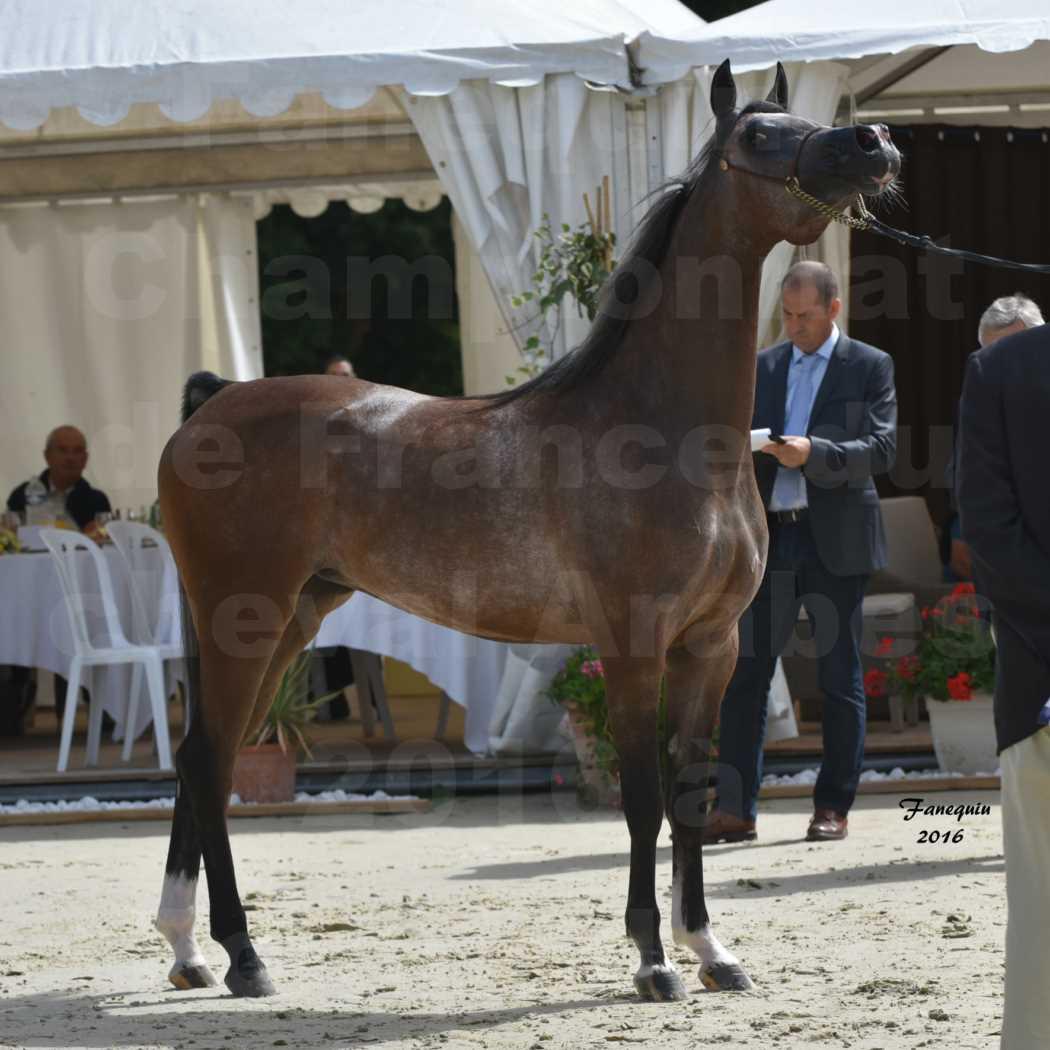 Championnat de France de chevaux Arabes 2016 à Pompadour - AÏNHOA MA PTIT FOLIE - 11